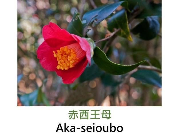 赤西王母Aka-seioubo.JPG