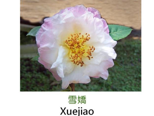 雪嬌Xuejiao.JPG