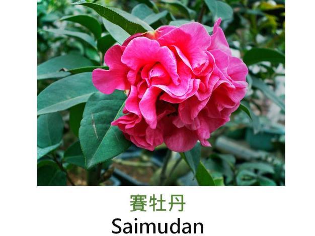 賽牡丹Saimudan.JPG