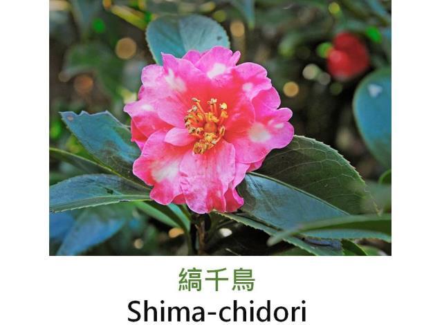 縞千鳥Shima-chidori.JPG