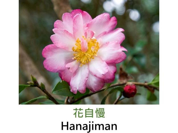 花自慢Hanajiman.JPG