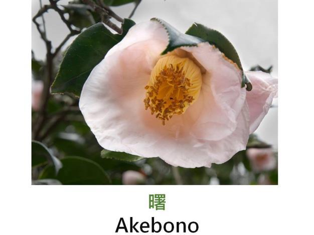 曙Akebono.JPG