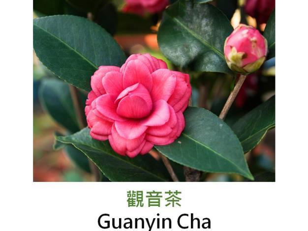 觀音茶Guanyin Cha.JPG