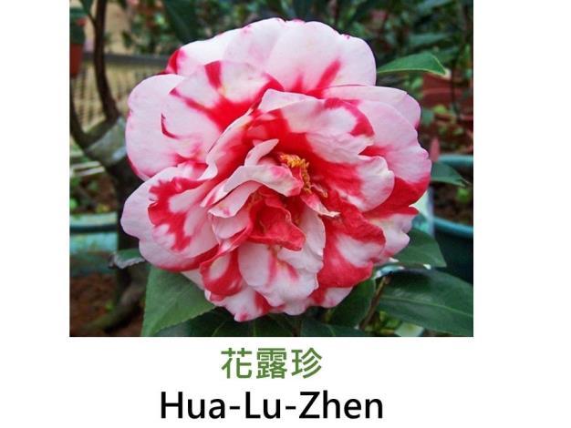 花露珍Hua-Lu-Zhen.JPG