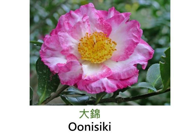 大錦Oonisiki .JPG