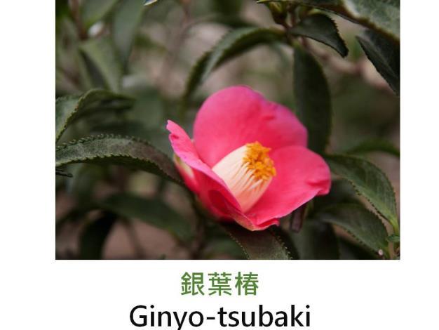 銀葉椿Ginyo-tsubaki.JPG