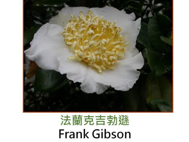 法蘭克吉勃遜Frank Gibson.JPG