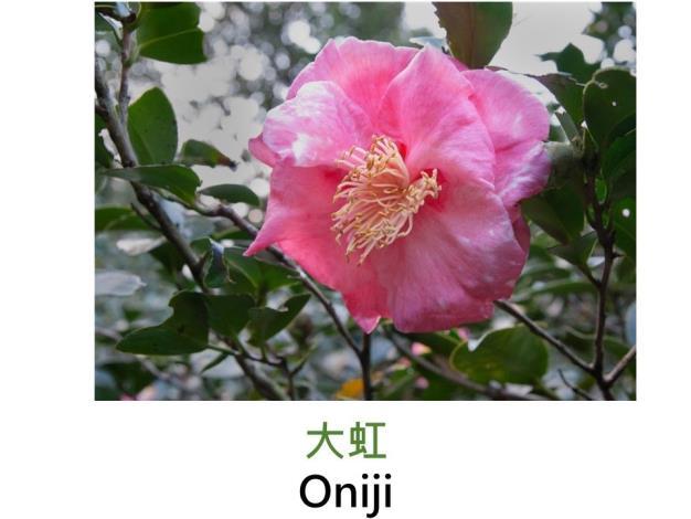 大虹Oniji  .JPG