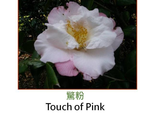 驚粉Touch of Pink.JPG