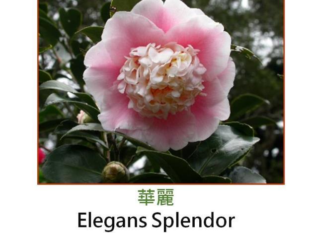 華麗Elegans Splendor.JPG