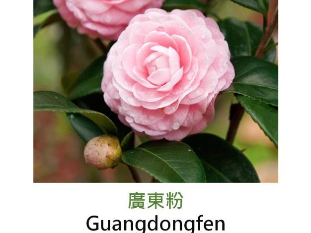 廣東粉Guangdongfen.JPG