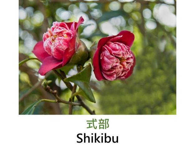 式部Shikibu.JPG