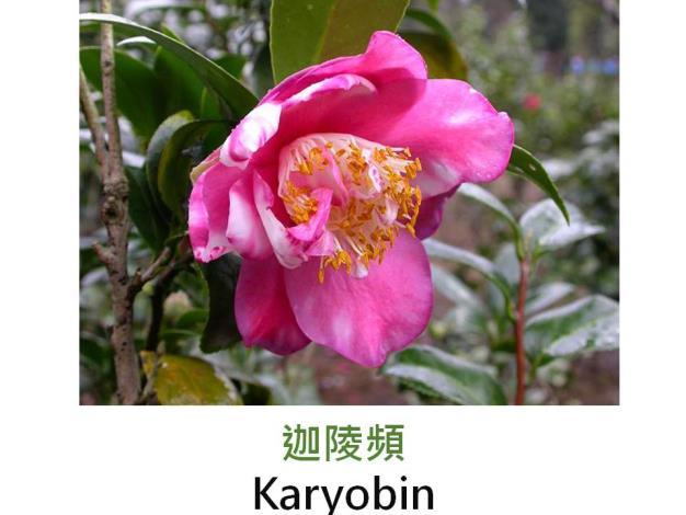 迦陵頻Karyobin.JPG