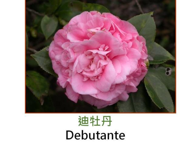 迪牡丹Debutante.JPG