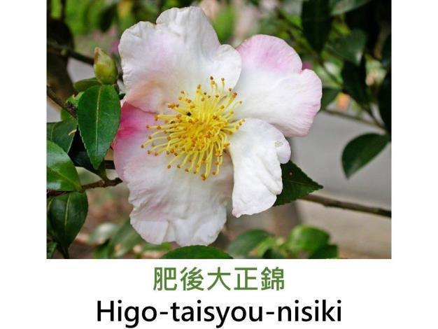 肥後大正錦Higo-taisyou-nisiki.JPG