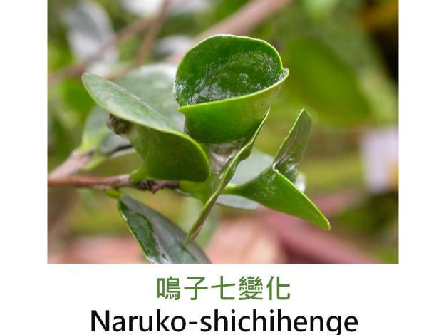 鳴子七變化Naruko-shichihenge.JPG