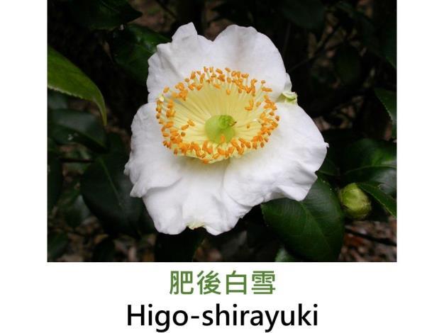 肥後白雪Higo-shirayuki.JPG