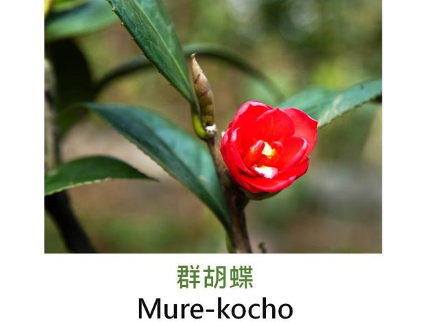 群胡蝶Mure-kocho.JPG