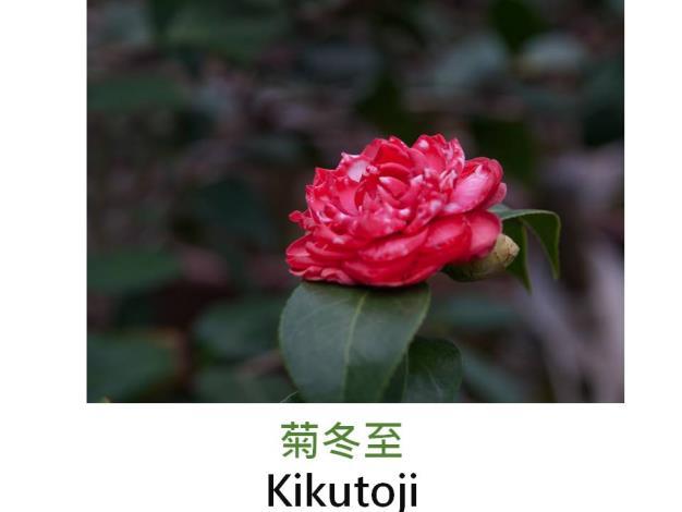 菊冬至Kikutoji.JPG