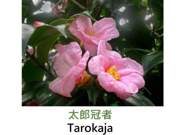 太郎冠者Tarokaja.JPG
