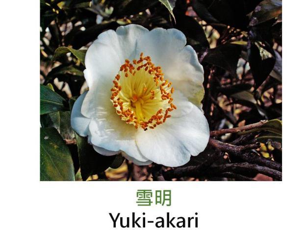 雪明Yuki-akari.JPG