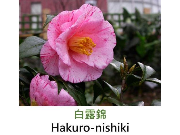 白露錦Hakuro-nishiki.JPG