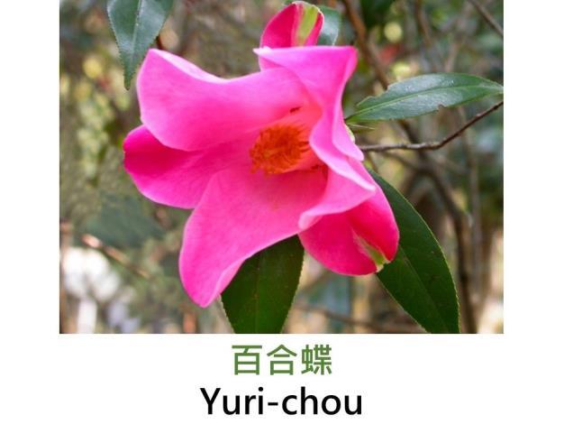 百合蝶Yuri-chou.JPG