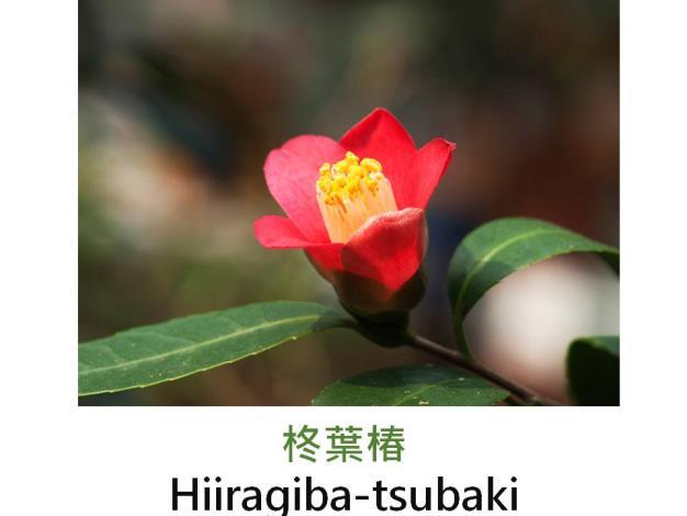 柊葉椿Hiiragiba-tsubaki.JPG