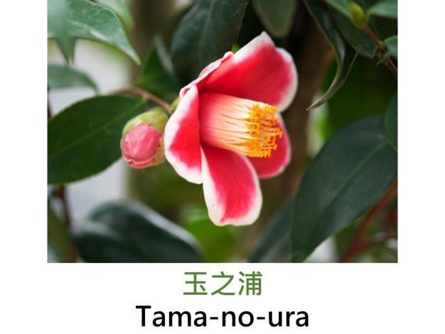 玉之浦Tama-no-ura.JPG