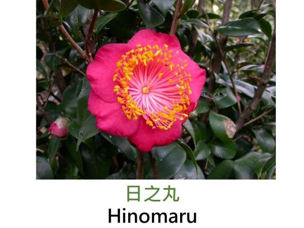 日之丸Hinomaru.JPG