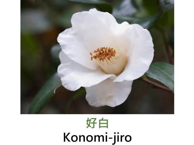 好白Konomi-jiro.JPG