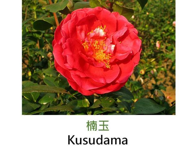 楠玉Kusudama.JPG