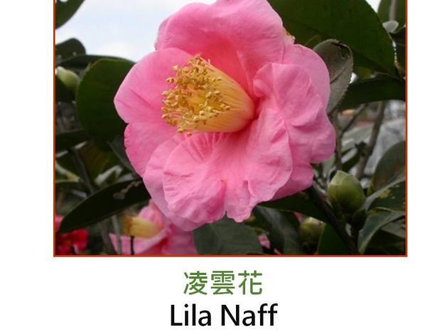 凌雲花Lila Naff.JPG