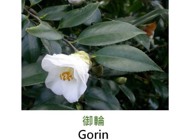 御輪Gorin.JPG