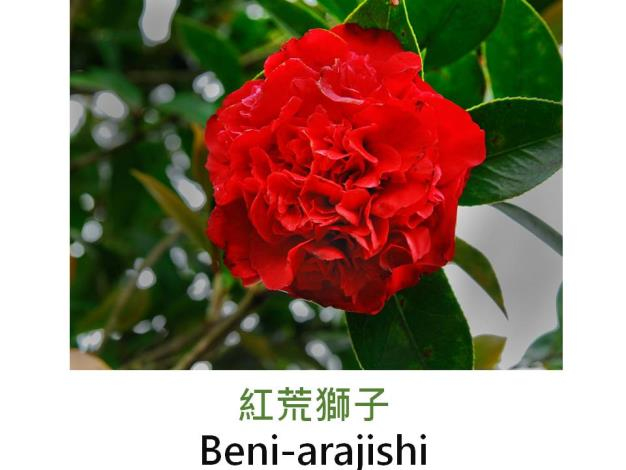 紅荒獅子Beni-arajishi.JPG