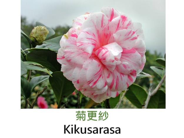 菊更紗Kikusarasa