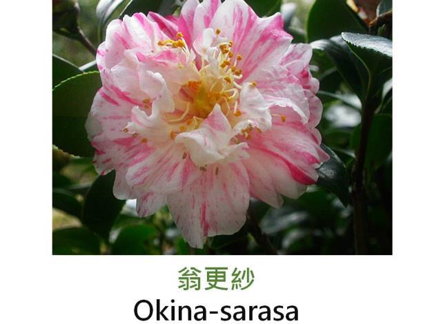 翁更紗Okina-sarasa.JPG