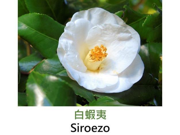 白蝦夷Siroezo.JPG