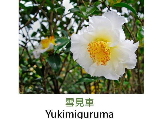 雪見車Yukimiguruma.JPG