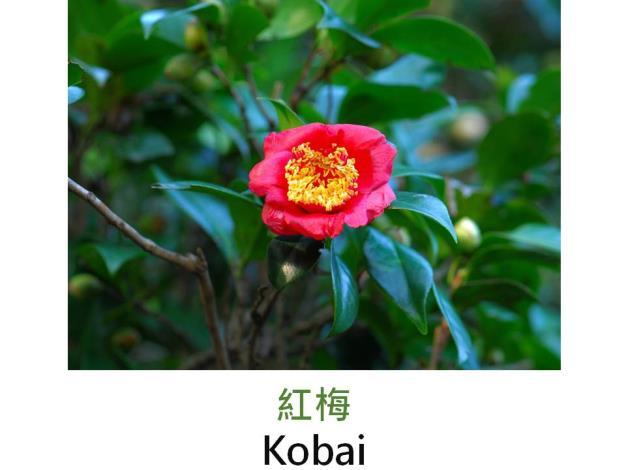 紅梅Kobai.JPG