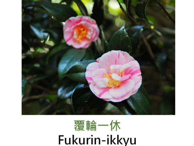 覆輪一休Fukurin-ikkyu.JPG