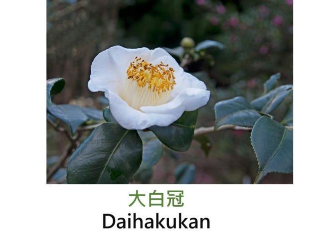 大白冠Daihakukan .JPG