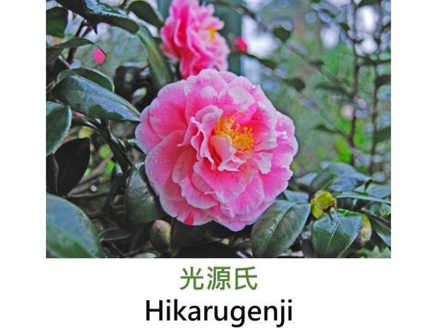 光源氏Hikarugenji.JPG
