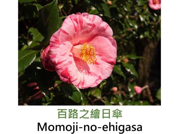 百路之繪日傘Momoji-no-ehigasa.JPG