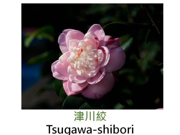 津川絞Tsugawa-shibori.JPG