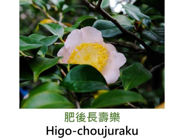 肥後長壽樂Higo-choujuraku.JPG