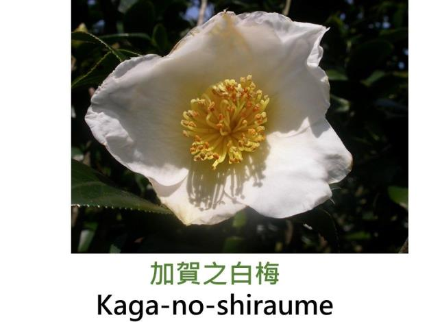 加賀之白梅Kaga-no-shiraume.JPG