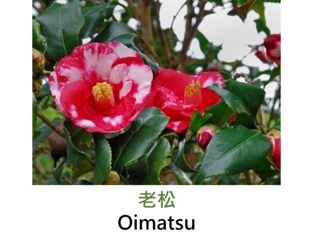 老松Oimatsu.JPG