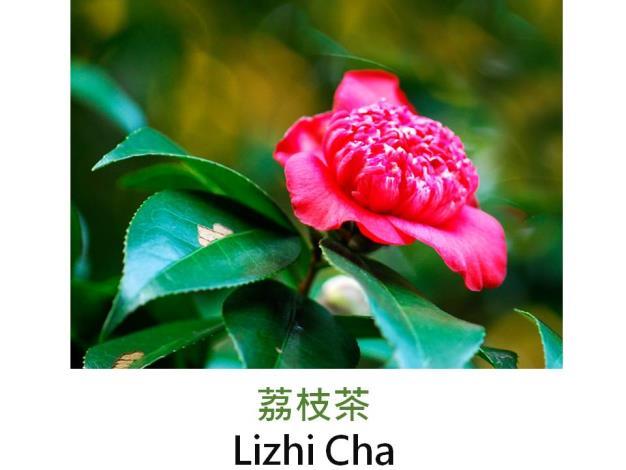 荔枝茶Lizhi Cha.JPG