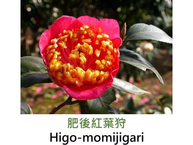 肥後紅葉狩Higo-momijigari.JPG